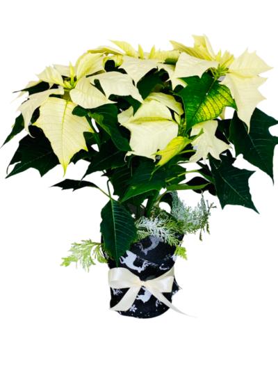 Gwiazda betlejemska biała, kwiaty na święta na Boże Narodzenie, florystyczna poczta, kwiatowa dostawa Polska
