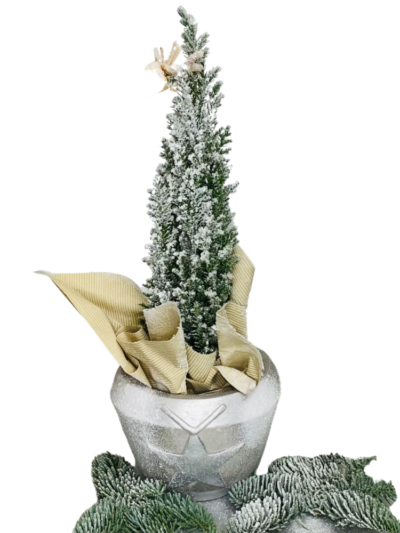 cyprys świąteczny, kwiaty na święta Bożego Narodzenia, florystyczna poczta, kwiatowa przesyłka Opole