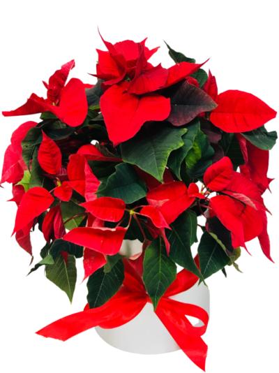 Gwiazd Betlejemska z dostawą kwiatowa florystyczna poczta Poznań kwiaty na święta Bożego Narodzenia